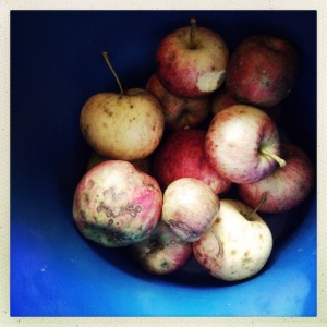Our final apple bounty